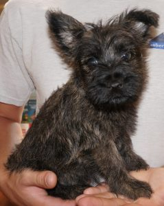 Isaac Vom Zauberberg Cairn Terrier Male For Sale