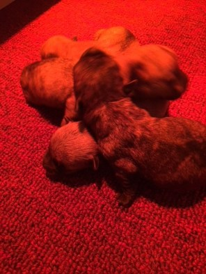 Cairn Terrier Puppies for sale near me