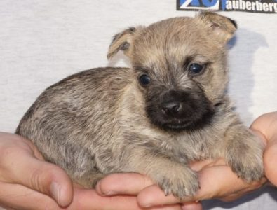 Cairn Terrier Female For Sale