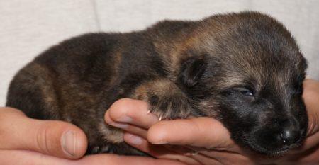 German Shepherd Puppies working lines for sale
