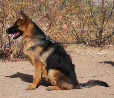 Black and red German Shepherd for sale