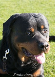 Obedience Trained Estate Rottweiler Male German Import for Sale Scottsdale