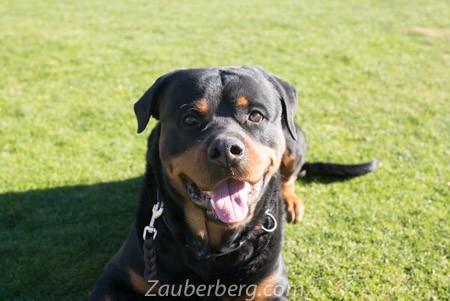 Eros-German-Import-Rottweiler-for-Sale (3 of 8)