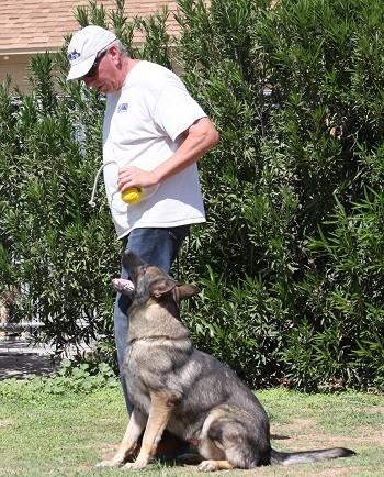 German Shepherd training how to heel