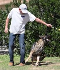 German Shepherd Male chasing ball