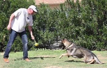 Carl Protection dog for sale Arizona