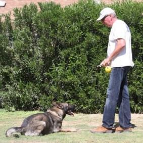 Obedience Training down German Shepherd Trainer