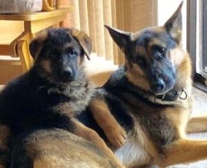 Two female German Shepherd review Zauberberg K9 Kennels