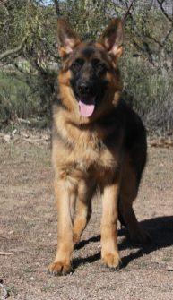 German Shepherd male front image Apollo