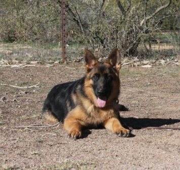 German Shepherd near you Apollo