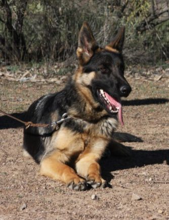 Male GSD black and tan available Prince