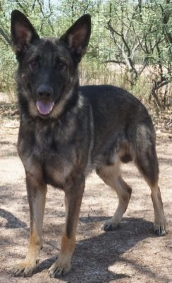 German Shepherd stud dog in Tucson