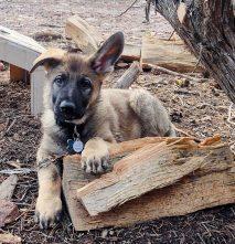 Buying a German Shepherd puppy