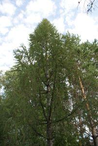 Ботанический Сад - Лиственница Сукачева