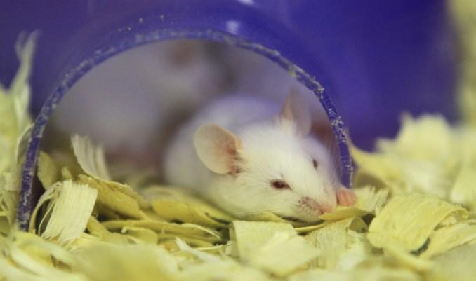 бяла мишка