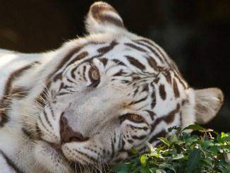 бял тигър
