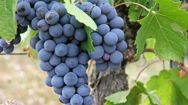 resweratrol tabletki, czerwone wino na odchudzanie