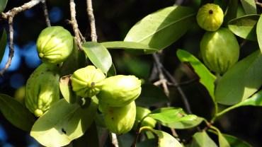 kwas hydroksycytrynowy pochodzi z garcynii kambodżańskiej