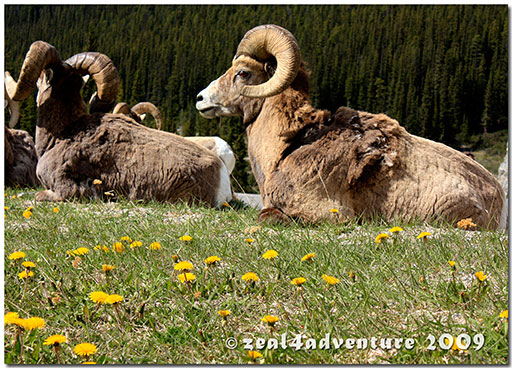 big-horn-sheeps