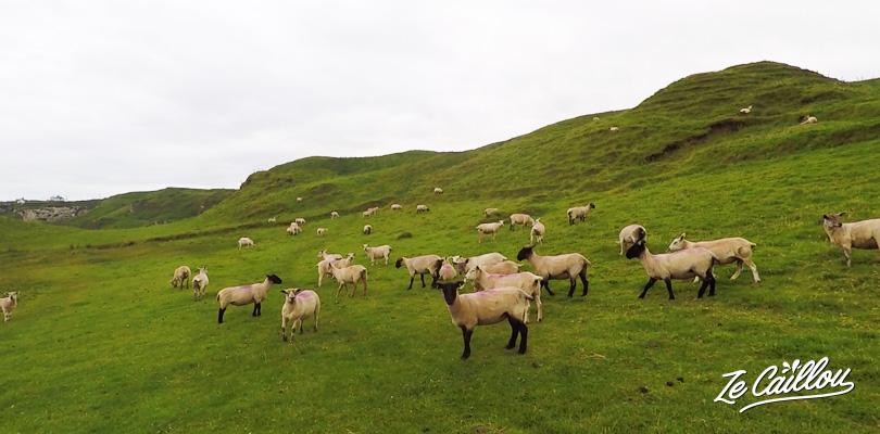 Traverser des champs de mouton lors de la marche de la chaussée des géants en irlande