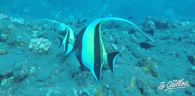 You'll see many species of surgeon fishes during your dives in La Reunion.