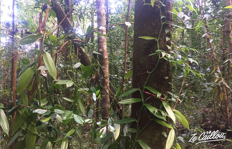The famous Saint Philippe's vanilla, in Reunion Island Wild South!
