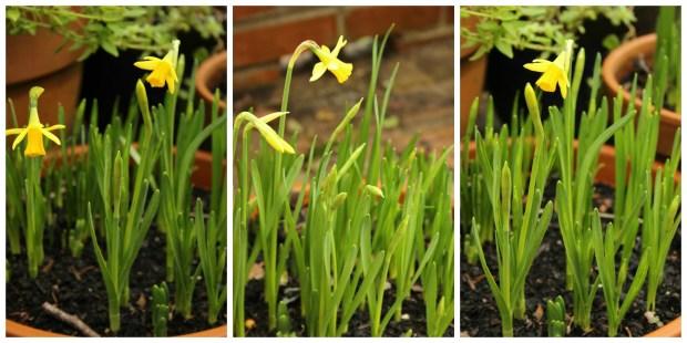 Daffodils on iso.