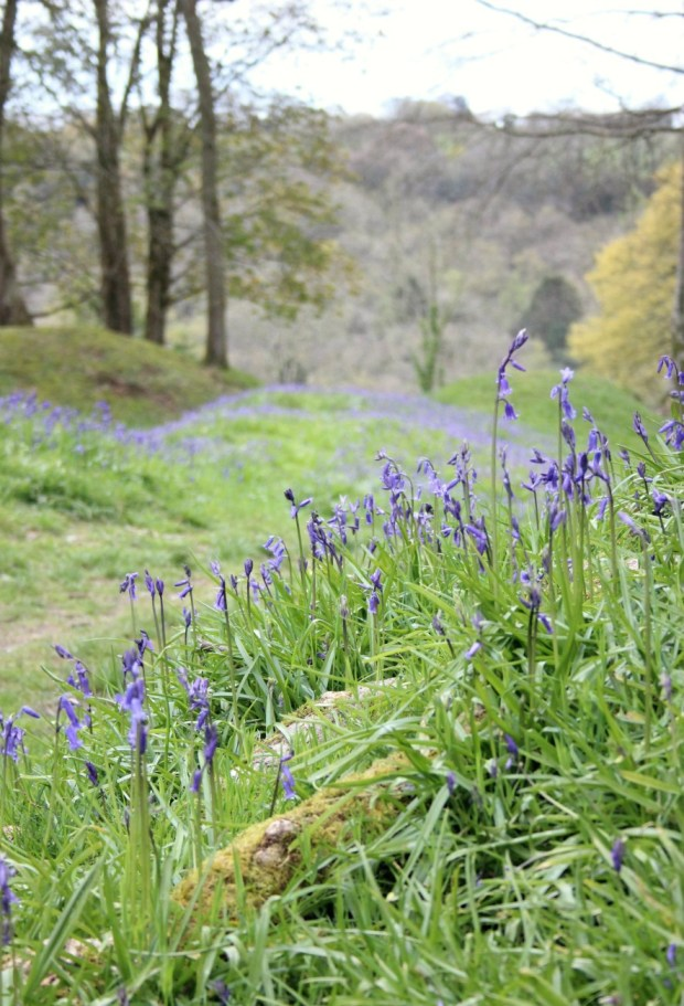 Bluebells growing on the slopes of Blackbury Camp.