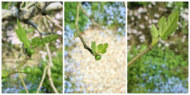 Emerging baby figs