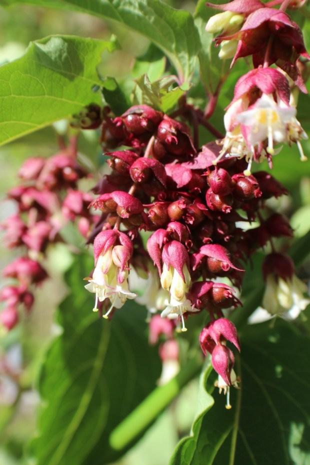 himalayan-honeysuckle-flower