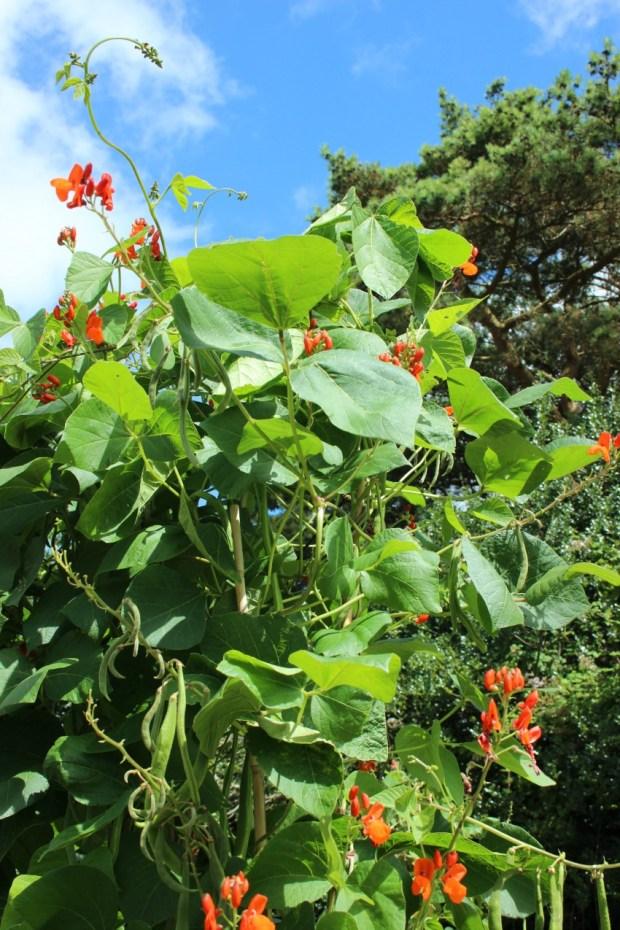 runner-beans