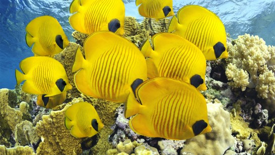 Coral Reef Underwater Yellow Butterflyfish UHD 3840X2160 PC Background