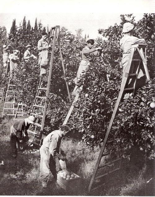 קטיף בפרדסי פתח תקווה בשנות ה-30 למאה הקודמת
