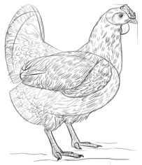 Huhn Zeichnen Lernen Schritt Fr Schritt Tutorial