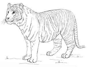 Tiger Zeichnen Lernen Schritt Fr Schritt Tutorial