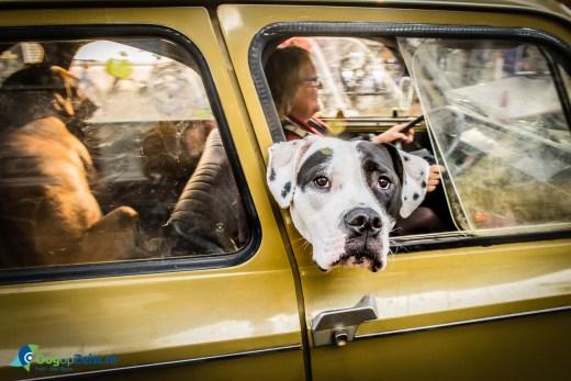 Hond in Lelijk eendje op de Steijnlaan