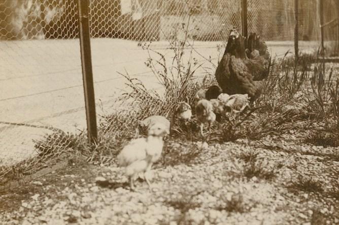 Henne mit Küken, 1916