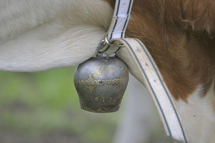 Aus Metalllegierung gegossener, kelchförmiger «Activity Tracker» an einem Stück Fleckvieh. Ein lose baumelnder Klöppel trifft bei Bewegung auf den gewölbten Rand. Ein Ton wird ausgelöst. So lässt sich die Aktivität  des Rindviehs mühelos tracken.