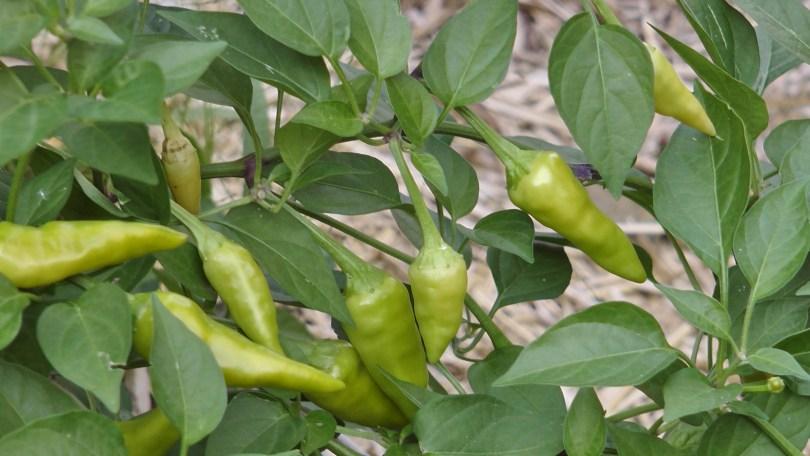 Hot peppers at the Université du Québec à Montréal