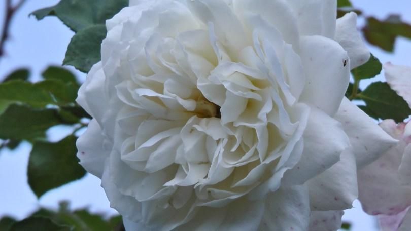 White Rose in The Rose Garden at Hélène de Champlain