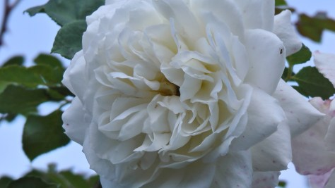White Rose in The Rose Garden at Hélène de Champlain