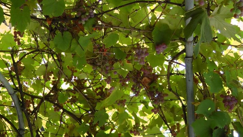 More Grapes on de L'Esplanade