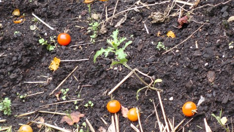 Close up of the tomatoes