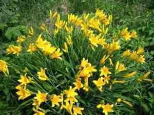Багаторічні квіти - Лілійник Міддендорфа
