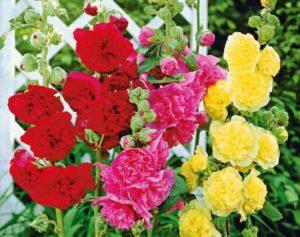 Багаторічні квіти - Шток-роза