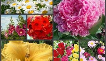 квіти багаторічники