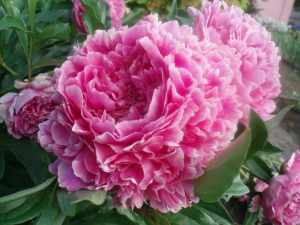 Багаторічні квіти - королева саду півонія
