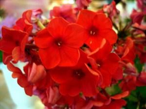 Багаторічні квіти - Флокси