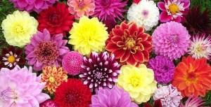 Осінні квіти. Жоржина.