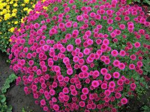 osinni-kviti-dribnokvitkova-xrizantema